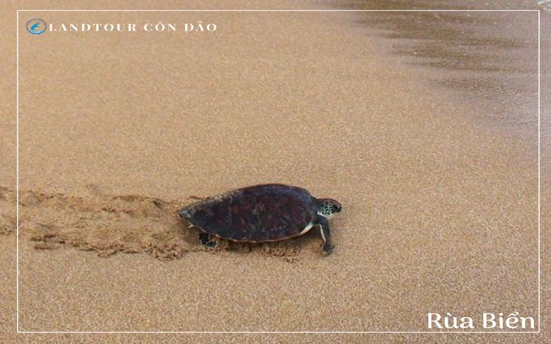 Rùa Biển - Landtour Côn Đảo